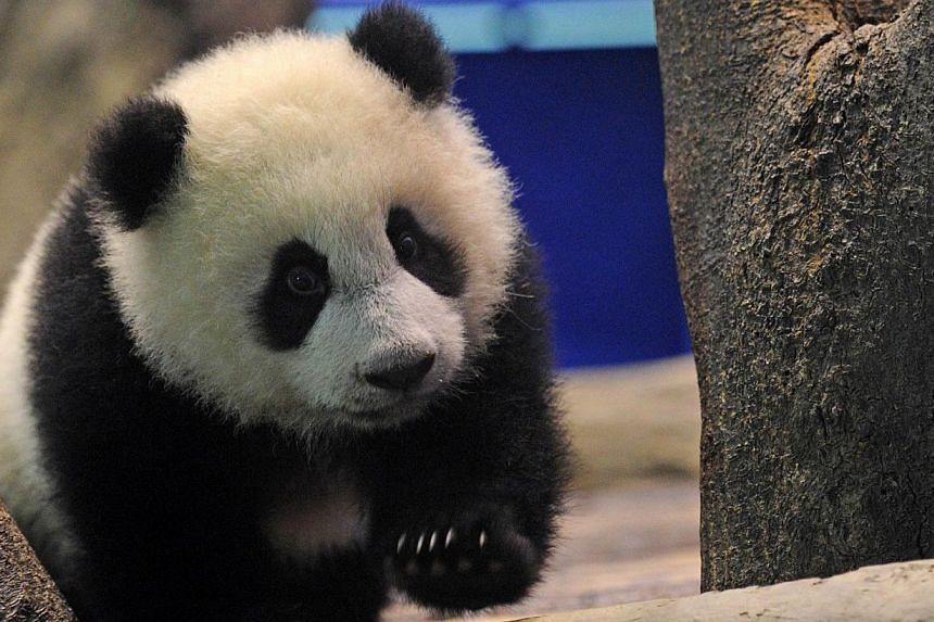 Yuan Zai , the first Taiwan-born baby panda, climbs inside an enclosure at the Taipei City Zoo, on Jan 4, 2014.The first Taiwan-born giant panda cub was unveiled to the media on Saturday, Jan 4, 2014, in a warm up for her highly-anticipated pub