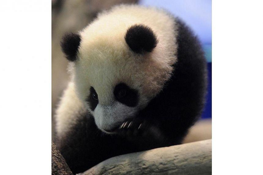 Yuan Zai , the first Taiwan-born baby panda, lies inside an enclosure at the Taipei City Zoo, on Jan 4, 2014.-- PHOTO: AFP