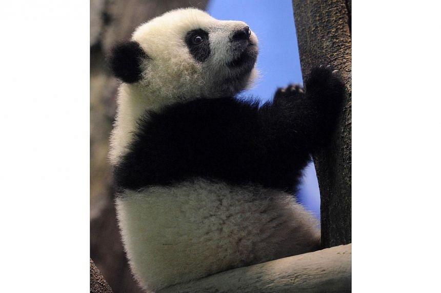 Yuan Zai , the first Taiwan-born baby panda, climbs inside an enclosure at the Taipei City Zoo, on Jan 4, 2014.-- PHOTO: AFP