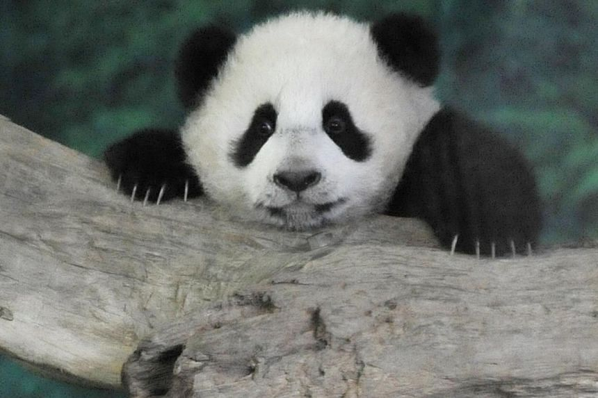 Yuan Zai, the first Taiwan-born baby panda, climbs inside its enclosure at the Taipei City Zoo on Jan 6, 2014. Yuan Zai made her much-anticipated public debut on Monday, entertaining thousands of excited fans who flocked to her enclosure. -- PHOTO: A