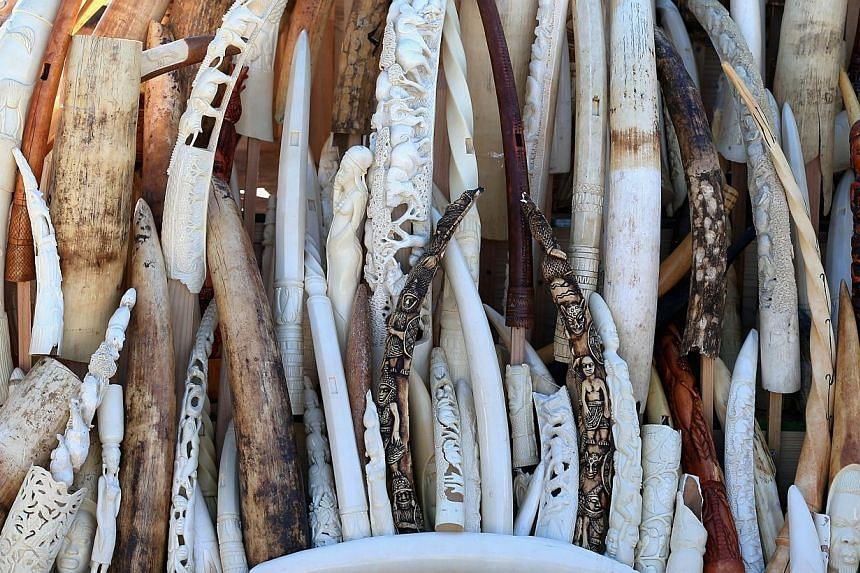 China shredded a pile of ivory reportedly weighing over six tonnes on Monday, in a landmark event aimed at shedding its image as a global hub for the illegal trade in African elephant tusks. -- FILE PHOTO: AFP