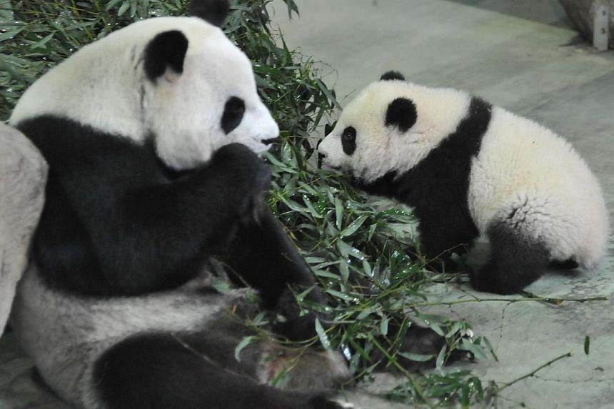 Yuan Zai (right) the first Taiwan-born baby panda, walks past as her mother Yuan Yuan as she eats inside an enclosure at the Taipei City Zoo on Jan 6, 2014. -- PHOTO: AFP