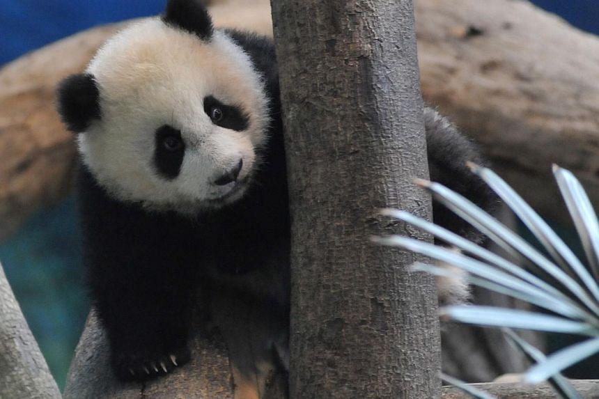 Yuan Zai, the first Taiwan-born baby panda, climbs inside its enclosure at the Taipei City Zoo on Jan 6, 2014. -- PHOTO: AFP