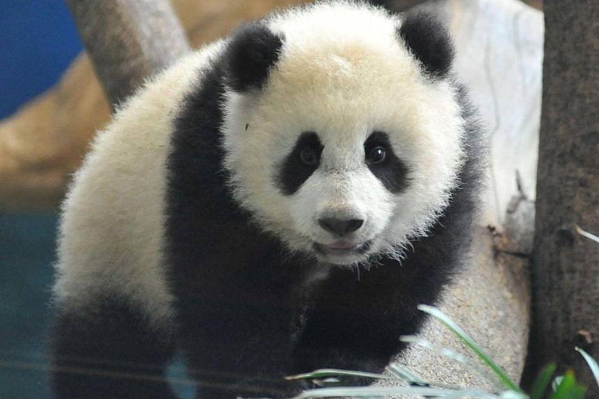 Yuan Zai, the first Taiwan-born baby panda, plays inside its enclosure at the Taipei City Zoo on Jan 6, 2014. -- PHOTO: AFP