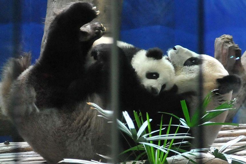 Yuan Zai (top) the first Taiwan-born baby panda, hugs her mother Yuan Yuan inside an enclosure at the Taipei City Zoo on Jan 6, 2014. -- PHOTO: AFP