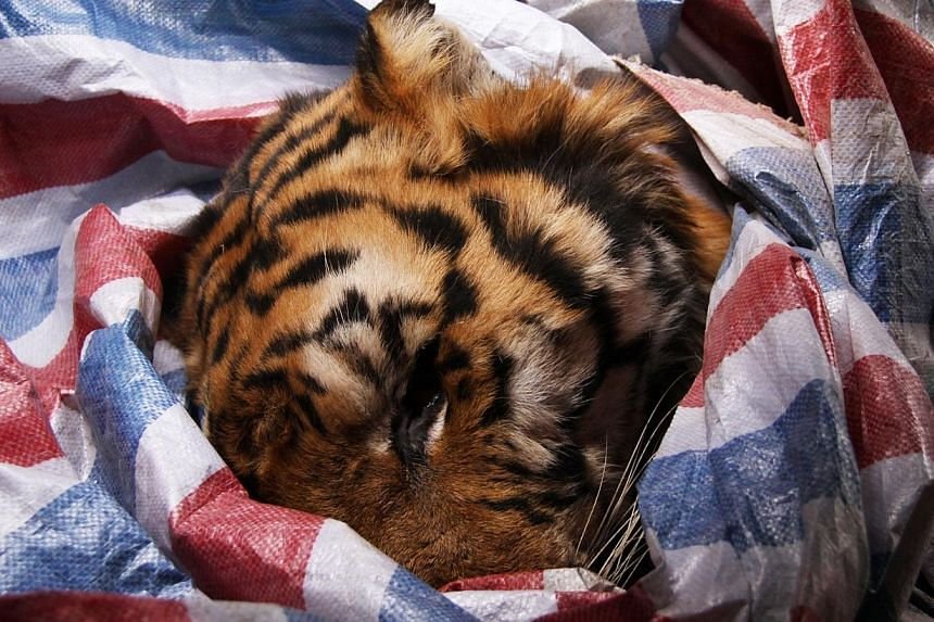 A dead Siberian tiger wrapped in a plastic bag as it lies in a SUV car in Wenzhou, east China's Zhejiang province, on Jan 8, 2014. -- PHOTO: AFP
