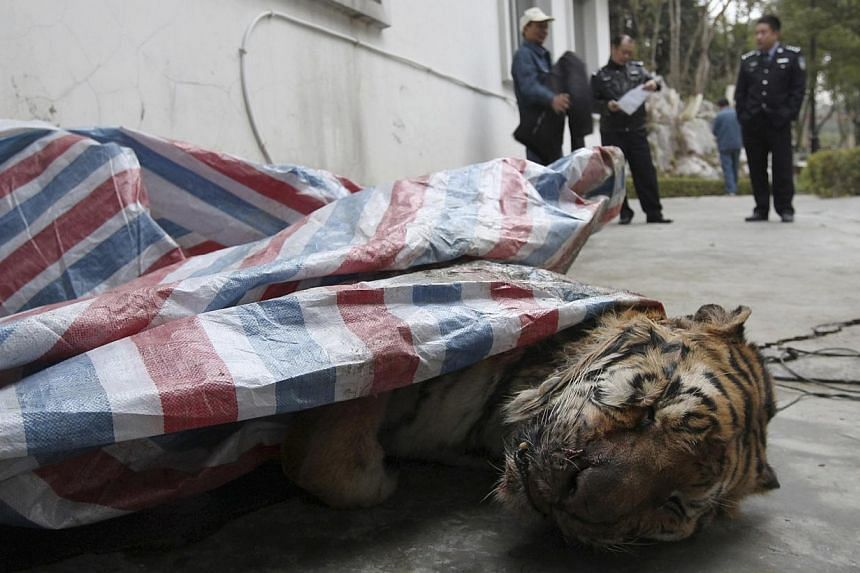 A dead tiger is found during a police action in Wenzhou, Zhejiang province, on Jan 8, 2014. -- PHOTO: REUTERS
