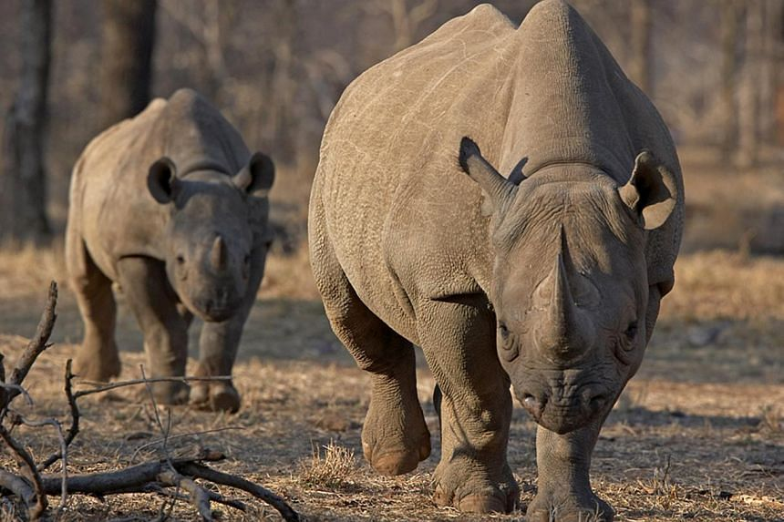 An endangered east African black rhinoceros and her young one walk in Tanzania's Serengeti park in this file photo from May 21, 2010, during the start of an initiative that would see 32 rhinos flown to Tanzania from South Africa. -- FILE PHOTO: REUTE