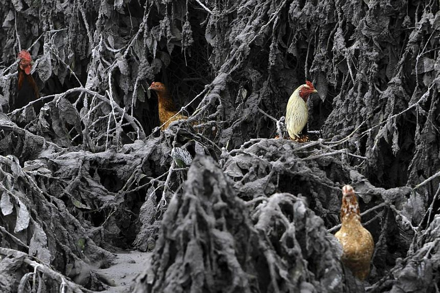 Chickens are seen in the midst of plants covered by ash from Mount Sinabung near Sigarang-Garang village in Karo district, Indonesia's North Sumatra province, Jan 12, 2014. More than 22,000 villagers have been evacuated since authorities raised the a