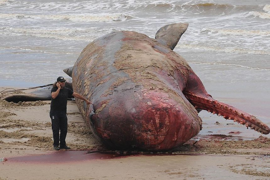 A municipal worker talks on a mobile phone next to a whale on Jan 12, 2014 as its body is being removed from the water a day after appearing at the shore of Carrasco beach in Montevideo, Uruguay. Authorities in Uruguay on Sunday recovered the body of