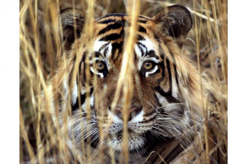 A tiger rests in the brush at Ranthambhore National Park in Jaipur on Mar 23, 2000.A wild tiger has killed three people in southern India this month, forcing dozens of schools and a tourist resort in the area to shut down, an official said on T