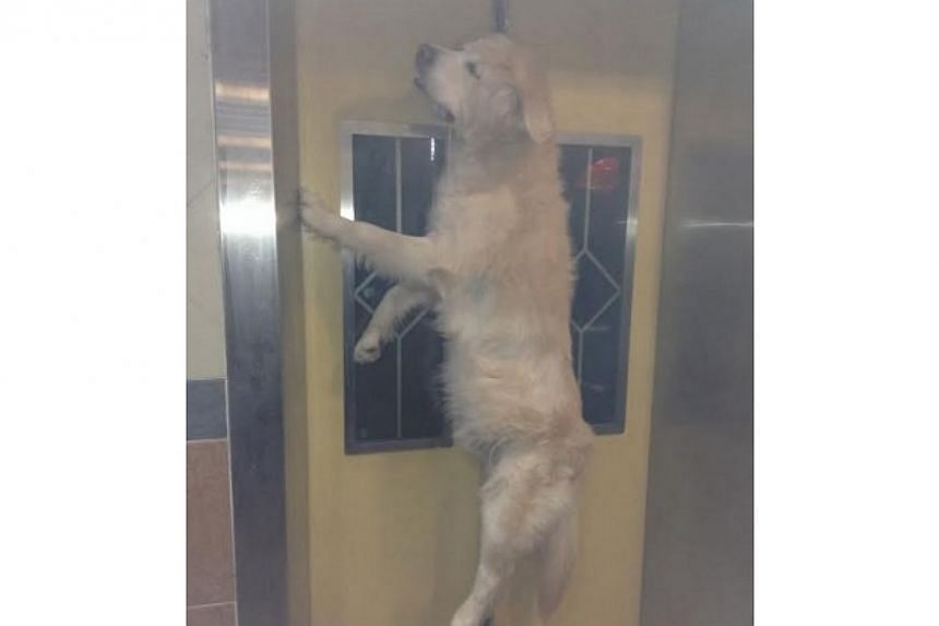 VIEWER ADVISORY, GRAPHIC PICTURE: A dog was killed on Wednesday morning after its leash got caught in a lift door. Its owner, a woman believed to be in her 50s, went into the lift on the ground floor of Block 621 in Bukit Batok Central at about 6.30a