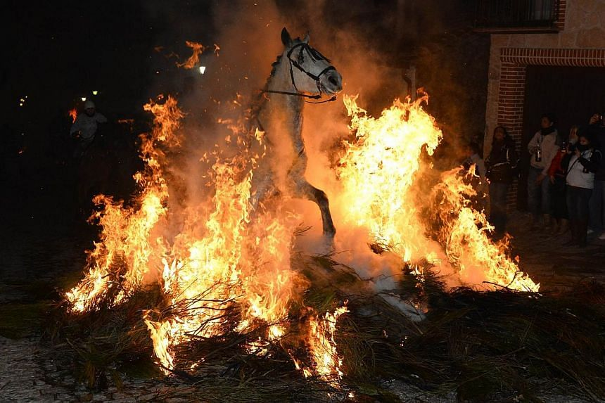 A horse and rider pass through a burning pyre in the central Spanish village of San Bartolome de Pinares on Jan 16, 2014 during celebrations for the feast of Saint Anthony, patron saint of animals. More than 100 horses and riders leapt the flames of