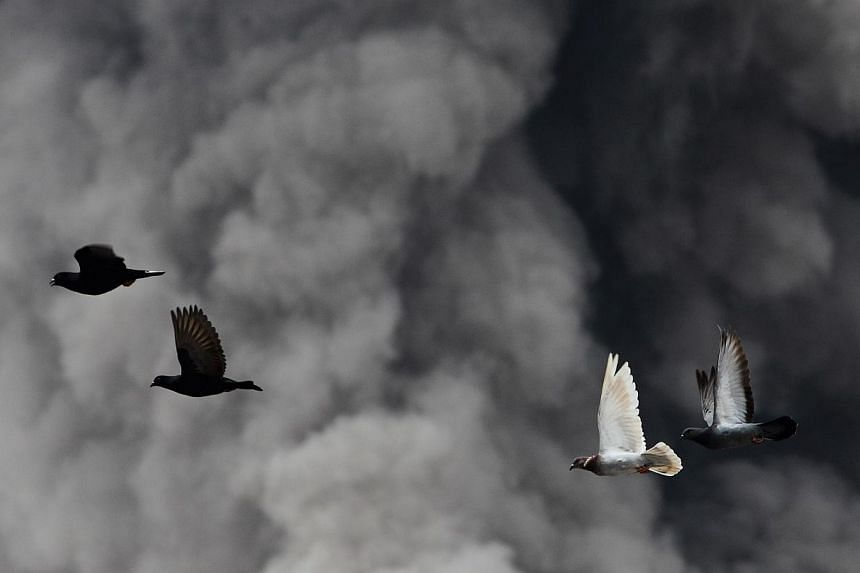 Pigeons fly as an ash cloud from a Mount Sinabung eruption is seen behind them at Beras Tepu village in Karo district, Indonesia's North Sumatra province, on Jan 15, 2014.The National Environment Agency (NEA) issued an advisory on Saturday to a