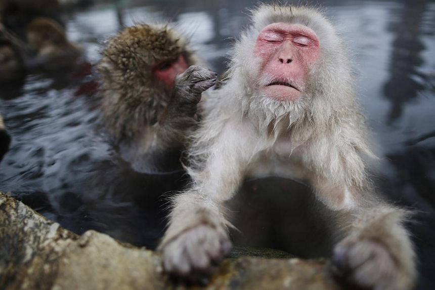Japanese Macaques (or Snow Monkeys) groom each other in a hot spring at a snow-covered valley in Yamanouchi town, central Japan January 20, 2014 -- PHOTO: REUTERS