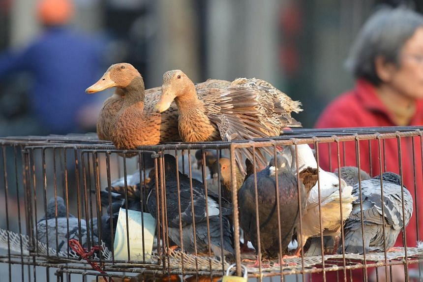 Live poultry for sale on a street in Shanghai on Jan 8, 2014. Avian influenza A, also known as H7N9, poses a low public health risk to Singapore, according to the Ministry of Health's latest assessment.  -- FILE PHOTO: AFP