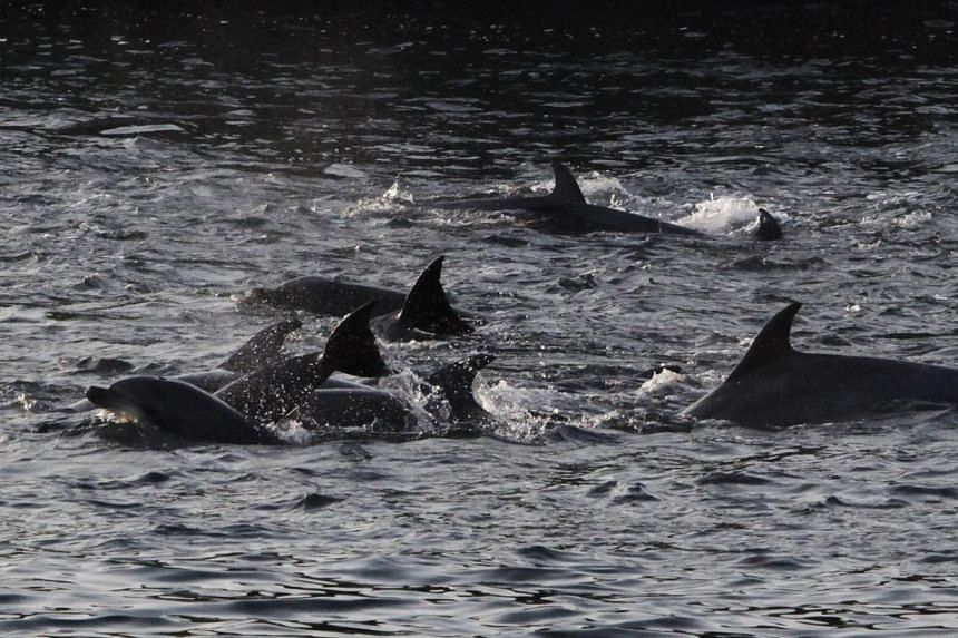 Dolphins are seen at a cove in Taiji, western Japan, Jan 21, 2014. Japanese fishermen drove a large group of dolphins into the shallows and killed at least 30 on Tuesday, hiding themsleves behind a tarpaulin, as the annual dolphin hunt that sparked p