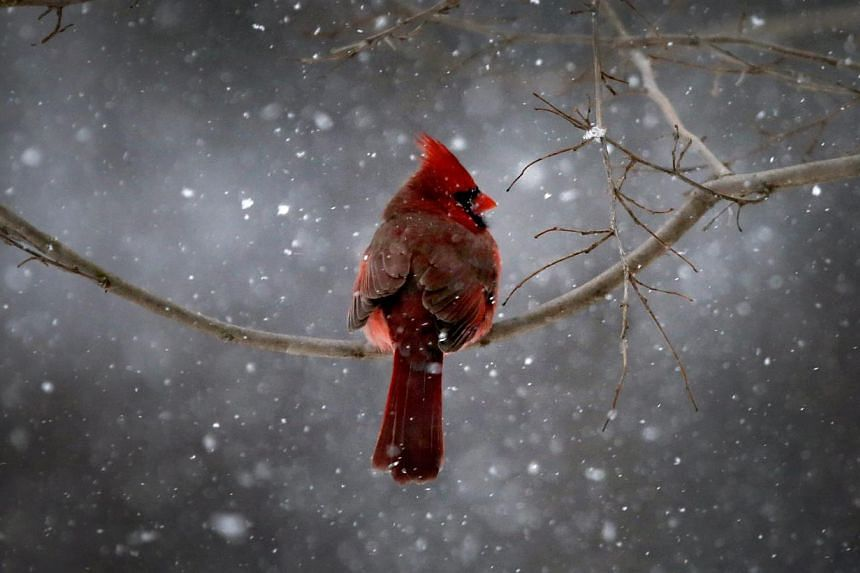 A Northern Cardinal sits on a tree branch in falling snow in the New York City suburb of Nyack, New York, on Jan 21, 2014. -- PHOTO: REUTERS