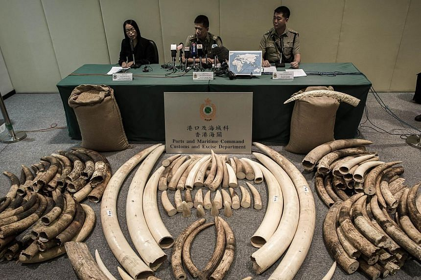 Seized ivory tusks displayed by Hong Kong Customs officials in Hong Kong, on Oct 3, 2013. Hong Kong plans to destroy 95 per cent of one of Asia's major hoards of confiscated ivory, fulfilling a long-standing demand by conservation groups that battle