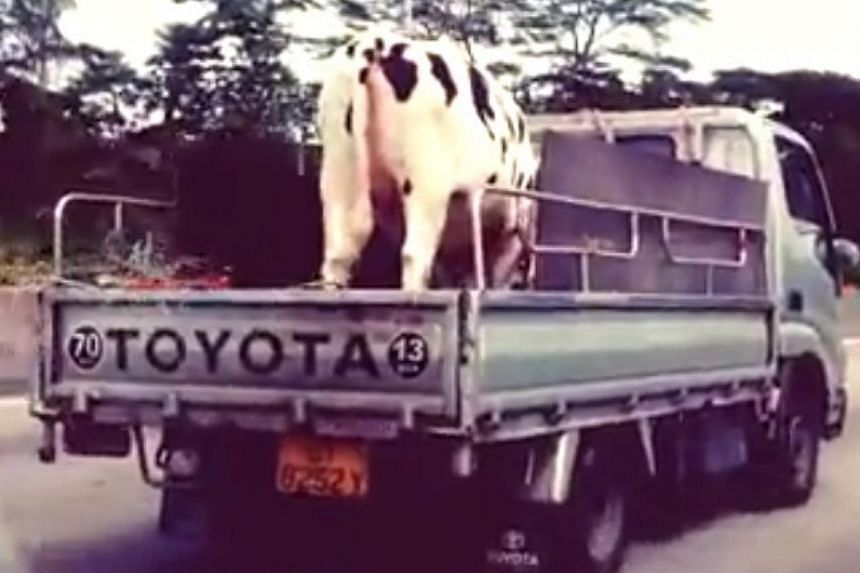 The year of the horse may be round the corner but it is a video of a cow and a calf being ferried on the back of a lorry in Singapore that has caught the attention of netizens. -- PHOTO: SCREENGRAB OF FACEBOOK VIDEO
