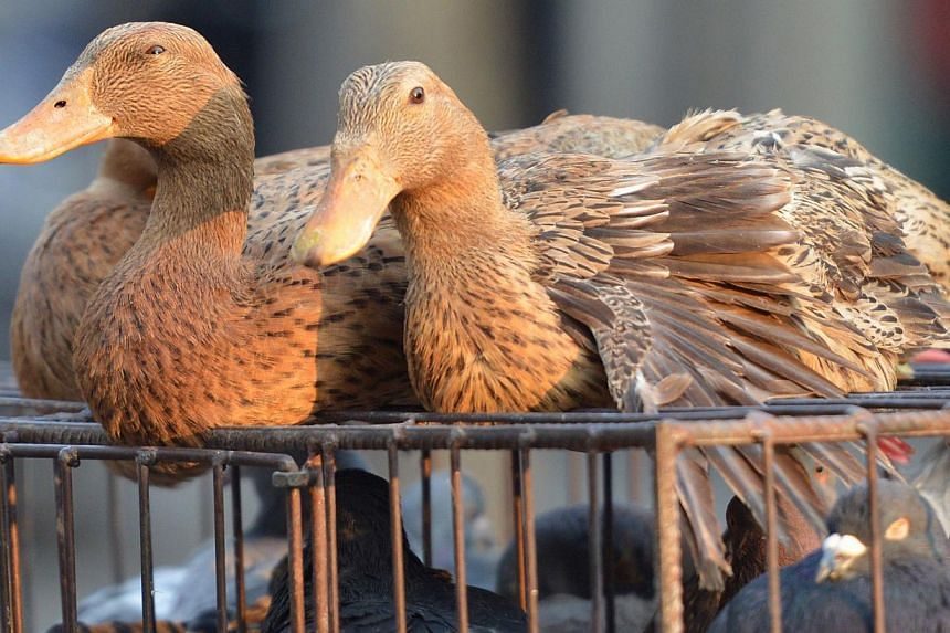 A photo taken on Jan 6, 2014, shows live poultry for sale on a street in Shanghai on Jan 8, 2014. Chinese authorities have confirmed the second human case of the new H10N8 strain of bird flu, contracted by a woman who is in critical condition in hosp
