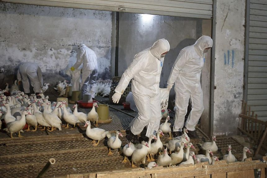 Health officials in protective suits transport sacks of poultry as part of preventive measures against the H7N9 bird flu at a poultry market in Zhuji, Zhejiang province, on Jan 6, 2014. China has reportedly downgraded H7N9 bird flu in humans, droppin