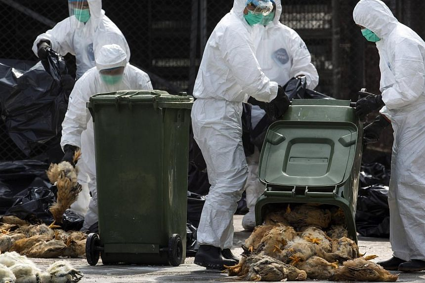 Health workers pack dead chickens into trash bins at a wholesale poultry market in Hong Kong on Tuesday, Jan 28, 2014.A cull of 20,000 chickens is under way in Hong Kong on Tuesday after the deadly H7N9 bird flu virus was found in poultry impor