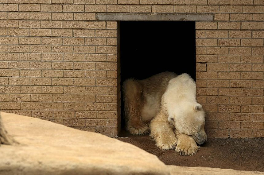 Wang, the only polar bear in Africa, reacts as he mourns the death of his companion, Geebee, for the past two weeks at the Johannesburg Zoo. -- PHOTO: REUTERS