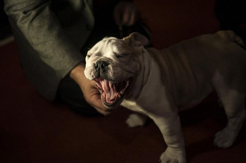 A bulldog puppy yawns at the American Kennel Club (AKC) in New York on Jan 31, 2014. -- PHOTO: REUTERS
