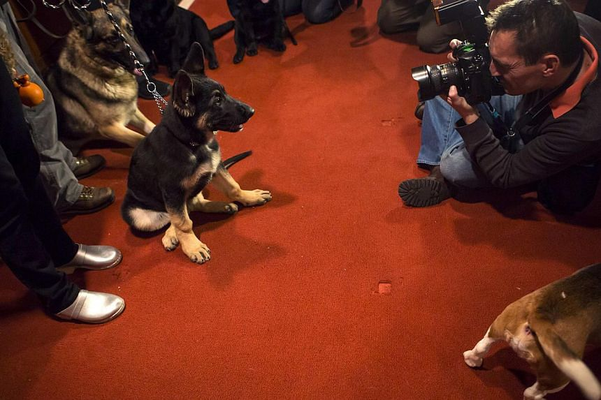 A photographer takes a picture of a German Shepherd puppy at the American Kennel Club (AKC) in New York on Jan 31, 2014. -- PHOTO: REUTERS