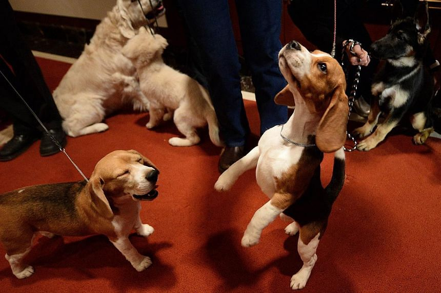A Beagle jumps as the 2013 most popular dog breeds in the US are unveiled to the press at the American Kennel Club in New York on Jan 31, 2014. -- PHOTO: AFP