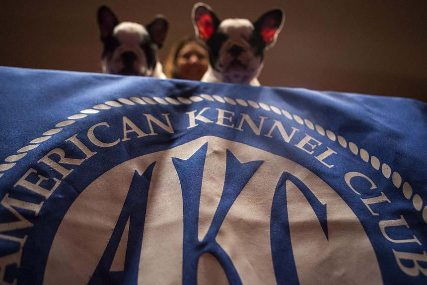 French Bulldogs are seen at the American Kennel Club (AKC) in New York on Jan 31, 2014. -- PHOTO: AFP