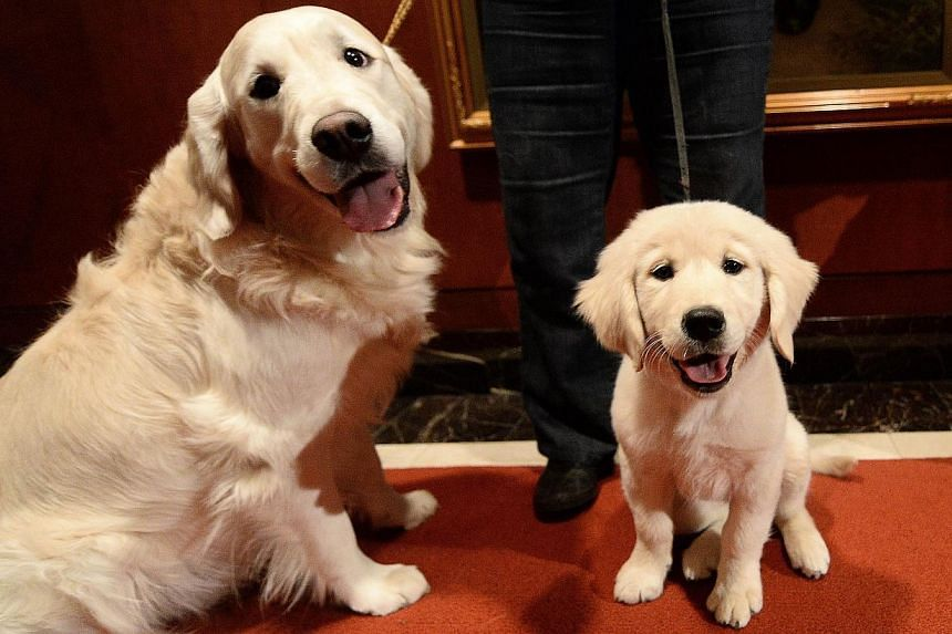 A puppy and adult Golden Retriever pose as the 2013 most popular dog breeds in the US are unveiled to the press at the American Kennel Club in New York on Jan 31, 2014. -- PHOTO: AFP