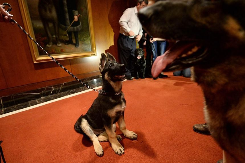 A puppy and adult German Shepherd stand as the 2013 most popular dog breeds in the US are unveiled to the press at the American Kennel Club in New York on Jan 31, 2014. -- PHOTO: AFP