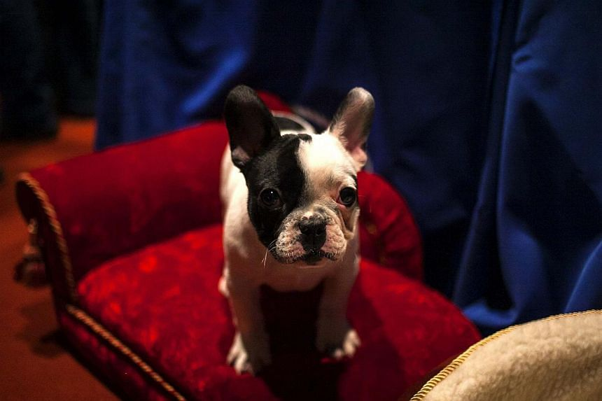 A French Bulldog puppy poses for a portrait at the American Kennel Club (AKC) in New York on Jan 31, 2014. -- PHOTO: REUTERS