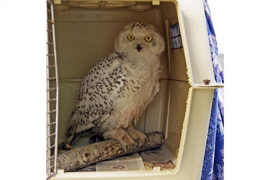 Photo courtesy City Wildlife dated on Jan 30, 2014, in Washington, DC shows the snowy owl that has been spotted recently in the downtown area sitting inside a crate. -- PHOTO: REUTERS