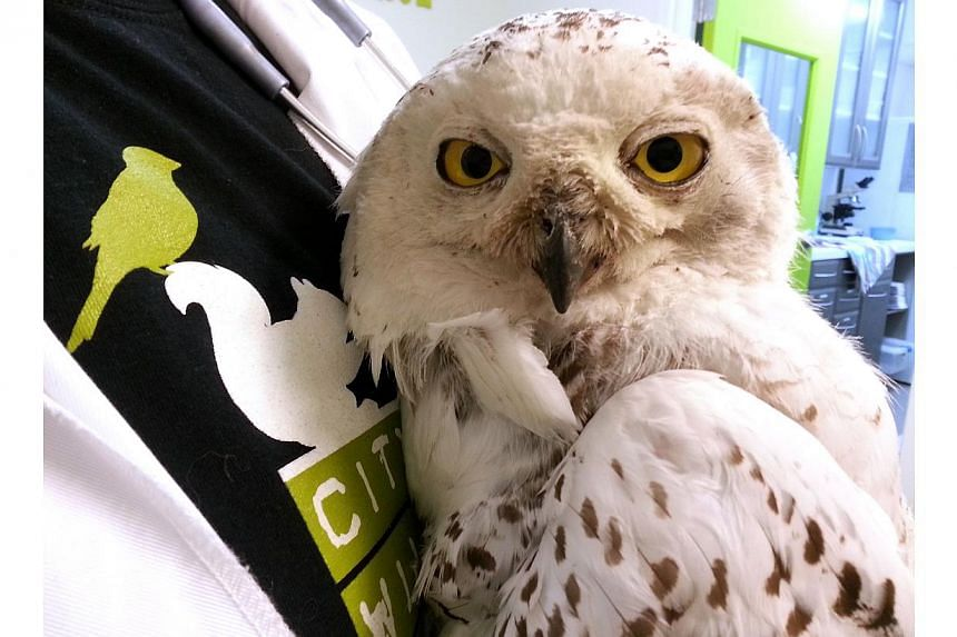 Photo courtesy City Wildlife dated on Jan 30, 2014, in Washington, DC shows the snowy owl that has been spotted recently in the downtown area. -- PHOTO: REUTERS