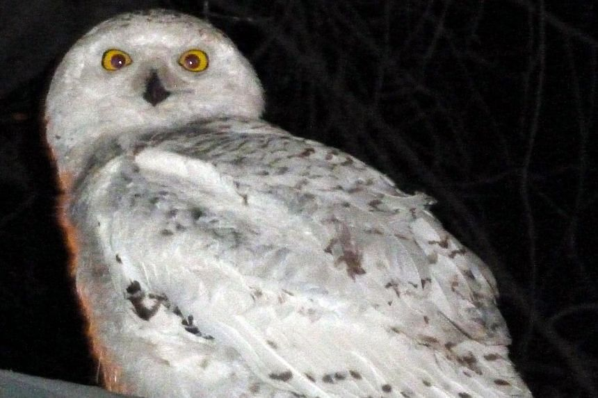 File photo dated on Jan 29, 2014, shows a snowy owl sitting on the awning of an office building in Washington, DC. -- FILE PHOTO: REUTERS