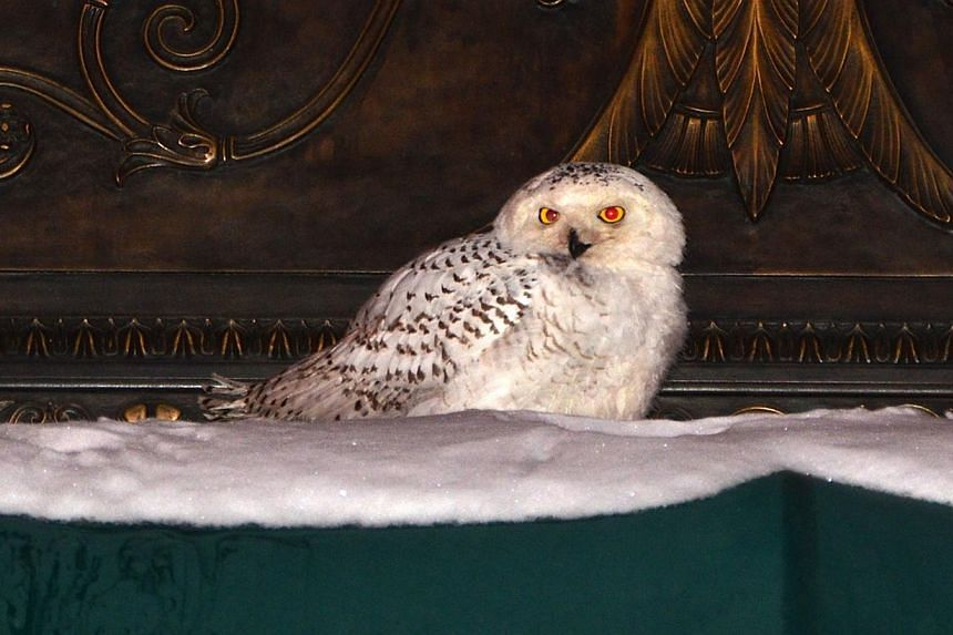 A snowy owl sits on the awning of an office building in downtown Washington, DC on Jan 22, 2014, as the US capital reopened for business on Wednesday amid below average temperatures. -- FILE PHOTO: REUTERS
