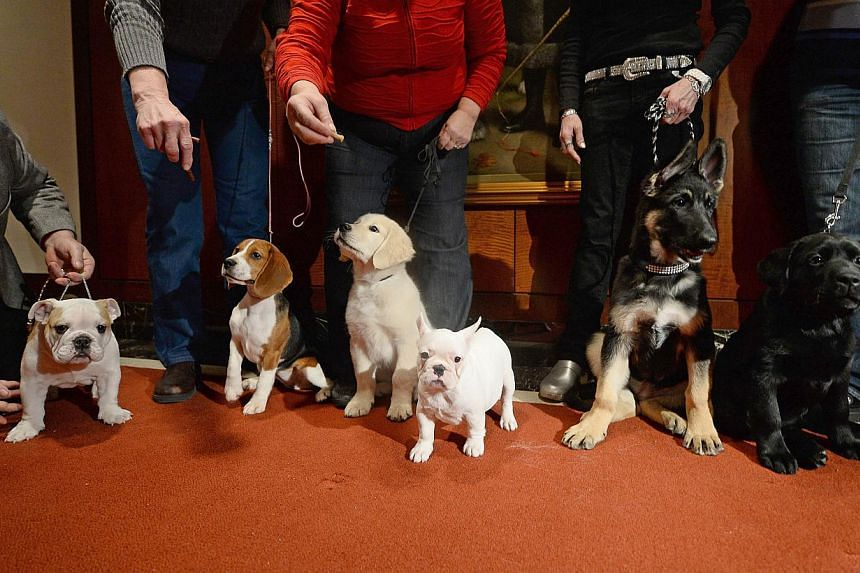 Puppies of the 2013 most popular dog breeds in the US are unveiled to the press at the American Kennel Club in New York on Jan 31, 2014. The Labrador retriever is the most popular dog breed in the United States (US) for the 23rd straight year, but th