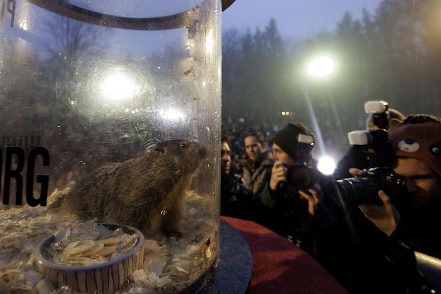 Punxsutawney Phil relaxes in his cage after he saw his shadow predicting six more weeks of winter during 128th annual Groundhog Day festivities on Feb 2, 2014 in Punxsutawney, Pennsylvania. -- PHOTO: AFP