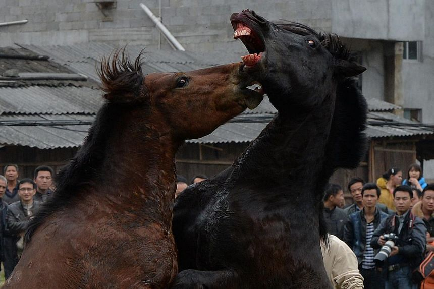 Two stallions fighting during a traditional Chinese New Year horse fighting competition for the Year of the Horse at the Miao Minority village of Tiantou in China's Guangxi Province on Feb 2, 2014. -- PHOTO: AFP