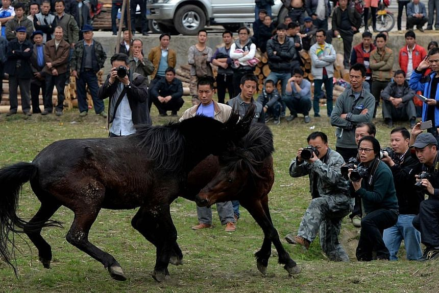 Two stallions fight during a traditional Chinese New Year horse fighting competition for the Year of the Horse at the Miao Minority village of Tiantou in China's Guangxi Province, on Feb 2, 2014. -- PHOTO: AFP