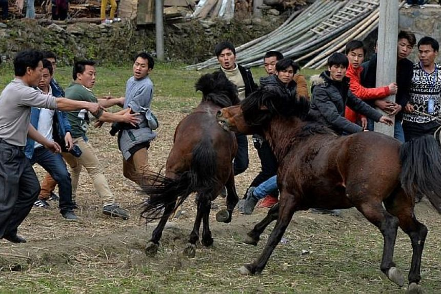 The crowd flees from a stallion during a traditional Chinese New Year horse fighting competition for the Year of the Horse at the Miao Minority village of Tiantou in Guangxi Province, on Feb 2, 2014. -- PHOTO: AFP