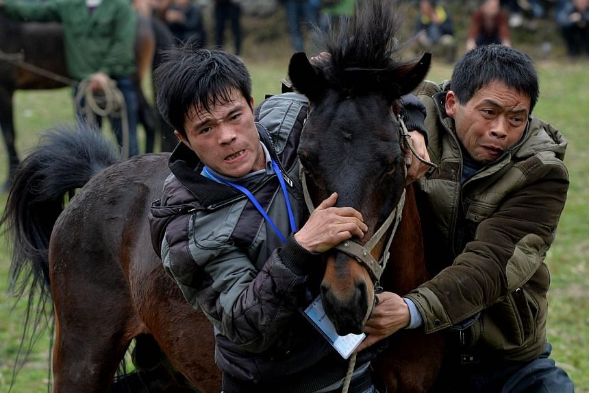 Two trainers try to get control of a stallion during a traditional Chinese New Year horse fighting competition for the Year of the Horse at the Miao Minority village of Tiantou in China's Guangxi Province, on Feb 2, 2014. -- PHOTO: AFP
