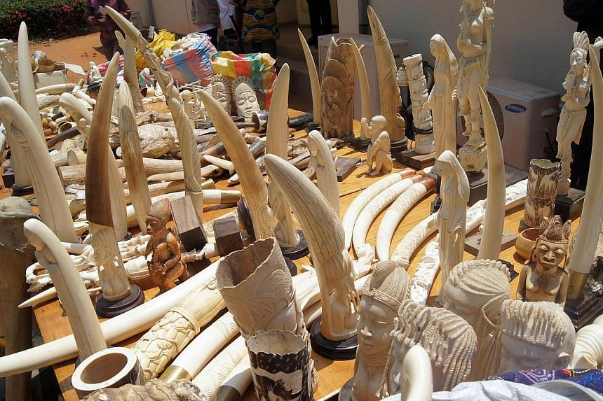 Part of the 700kg of ivory seized on Aug 6, 2013 by the Togolese police, as they are exhibited for journalists in Lome on Aug 9, 2013. Authorities in Togo have seized nearly four tonnes of ivory - the tusks from over 500 dead elephants - hidden in co