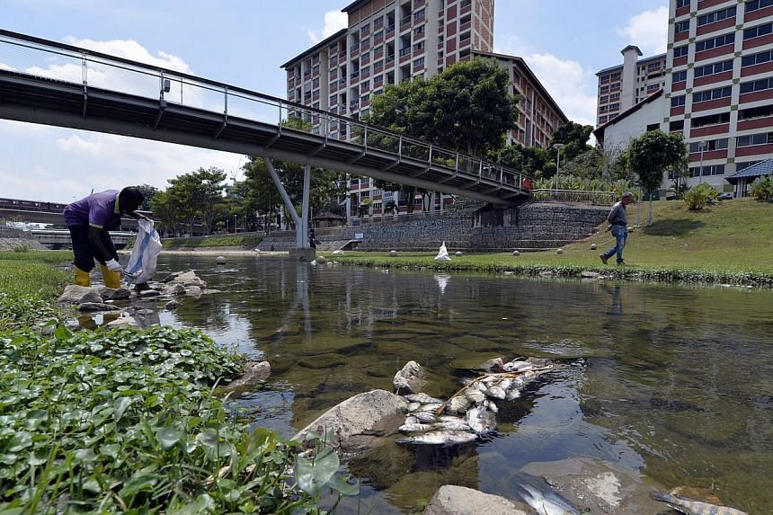Cleaners clearing shoals of dead fish found along the river at Bishan-Ang Mo Kio Park. Hundreds of dead fish were found floating in the river at Bishan-Ang Mo Kio Park by residents on Tuesday, Feb 4, 2014, causing a stench in the area that lingered t