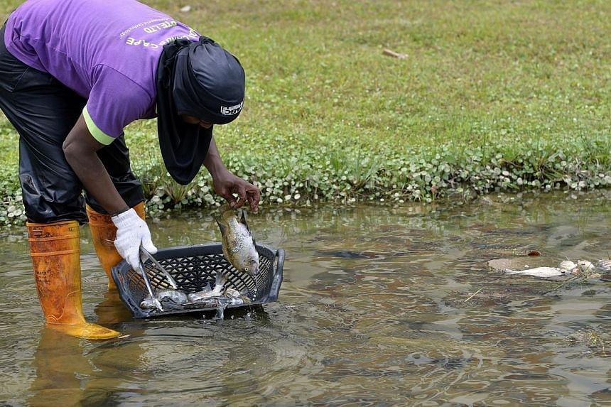Cleaners clearing shoals of dead fish found along the river at Bishan-Ang Mo Kio Park. -- ST PHOTO: DESMOND FOO