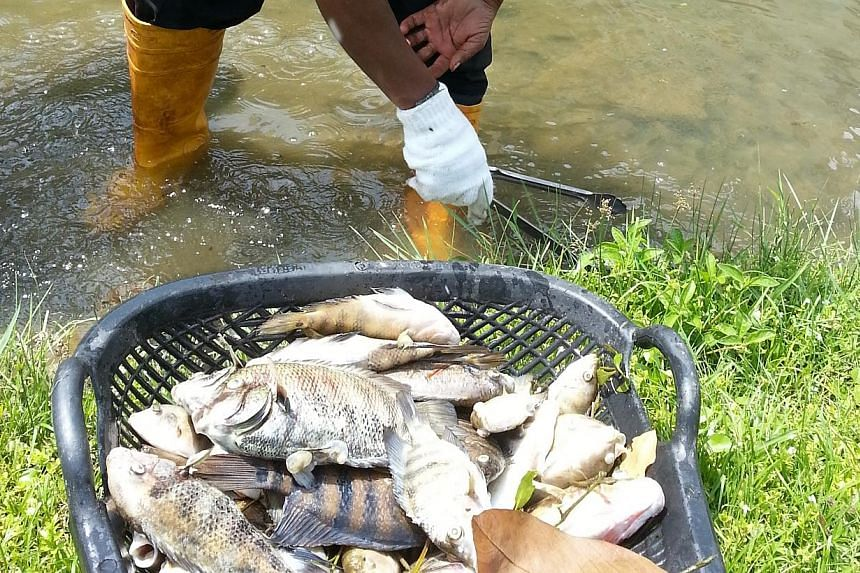 Cleaners clearing shoals of dead fish found along the river at Bishan-Ang Mo Kio Park. -- ST PHOTO: DAVID EE