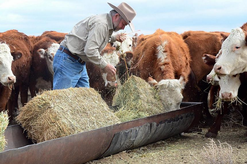 California rancher Nathan Carver drops off bails of hay to feed his herd of beef cattle at the ranch his family has owned for five generations on dirt-brown fields on the outskirts of Delano, in California's Central Valley, on Feb 3, 2014. California